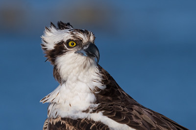Osprey, female cropped