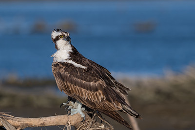 Osprey, female