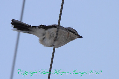 Northern Shrike- Dakota Co.