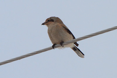 Northern Shrike- Burnett County, WI