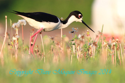 Black-necked Stilt- Herman MN