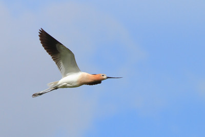 American Avocet- ND