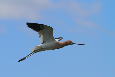 American Avocet- North Dakota