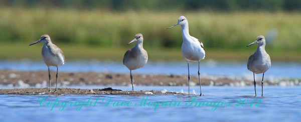American Avocet & Willets- Dike1