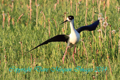 Black-necked Stilt- Herman MN (Showtime! )