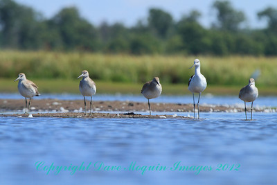 American Avocets & Willets