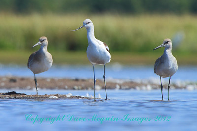 American Avocet & Willets