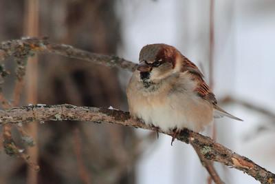 House Sparrow- Sax Zim Bog