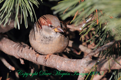 House Sparrow- Red Wing