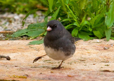 Junco with hurt leg