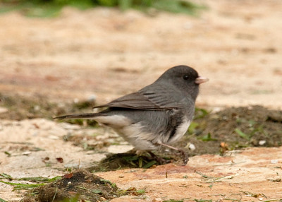 Junco with hurt leg.  Will he stay through summer for a record?