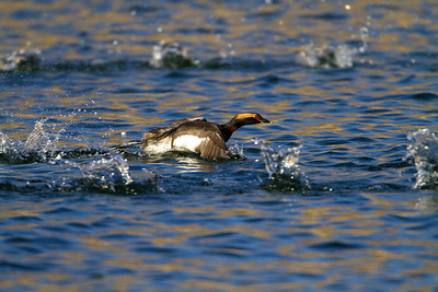 Horned Grebe Skimming