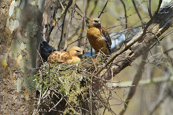 nesting Red Shouldered Hawks
