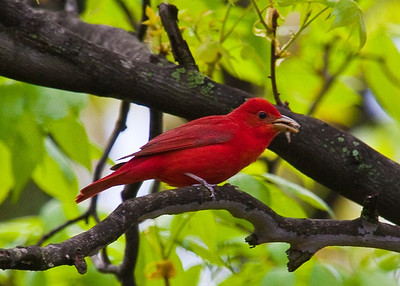 Cardinals and Tanagers