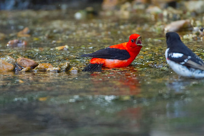 Scarlet Tanager not happy his bath was interrupted by a red breasted grosbeak