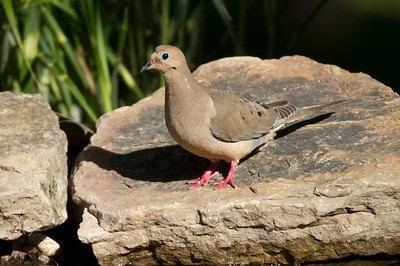 Mourning Dove in the morning light
