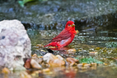 Summer Tanager taking a bath