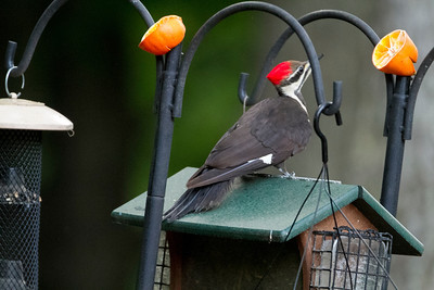 Piliated Woodpecker visited the feeder