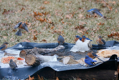 Eastern Bluebird  Backyard