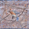 The Beautiful Eastern Bluebird!