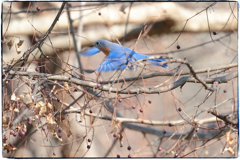 Berries and Bluebirds