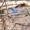 Berries and Bluebirds