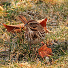 Song Sparrow. Best @ XL sizes.