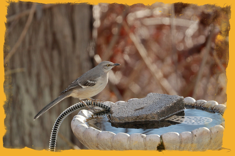 How many birds could a Mockingbird mock, if a Mockingbird could mock birds?