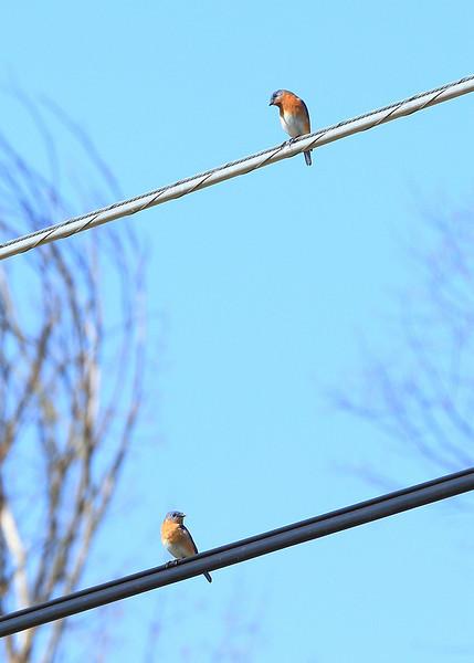 Male Eastern Bluebirds,.....enemies in Spring