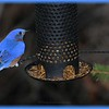 "The ""Electric"" Eastern Bluebird"