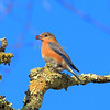 Eastern Bluebird. Official bird of New York State.