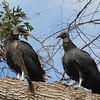Turkey Vultures  -females