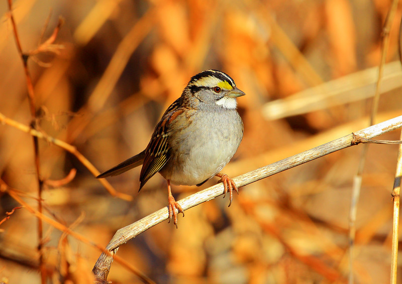 White Throated Sparrow. Best viewed X2 or X3.