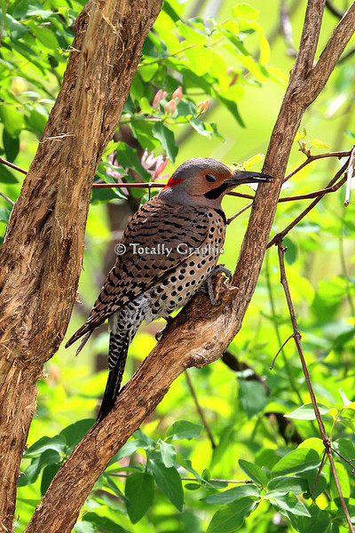 Yellow Shafted Flicker