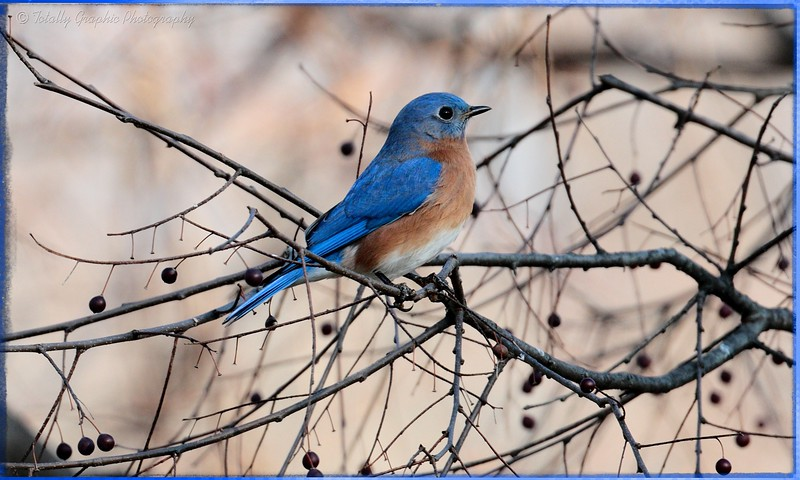 """A """"berry"""" beautiful Bluebird"""