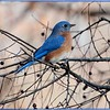 "A ""berry"" beautiful Bluebird"