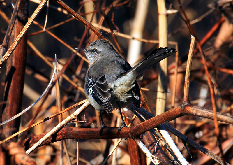 A young Mockingbird.