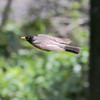 Robin in flight...(Boy Wonder Fly By!), boy they are fast! Best view @ XL