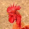 Ok the next few photo's are not New York birds but they are so colorful!  I believe this is a Road Island Red Chicken?