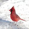 The Dominant Cardinal