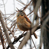 Carolina Wren (lo res)