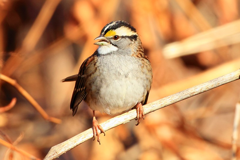 White Throated Sparrow. Best viewd at XL sizes.