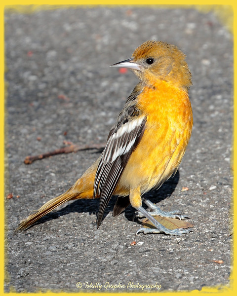 A young Northern Oriole