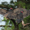 Turkey Vultures  (male)