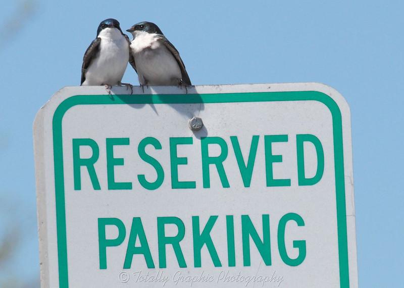 Tree Swallows Love to Park