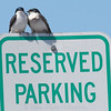 Tree Swallows Love to Park
