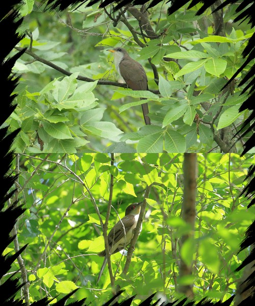 Yellow-billed Cuckoo above and the Black-billed Cuckoo below. Notice the red eye on the Black-billed Cuckoo!