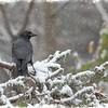 Tha Snowy Crow