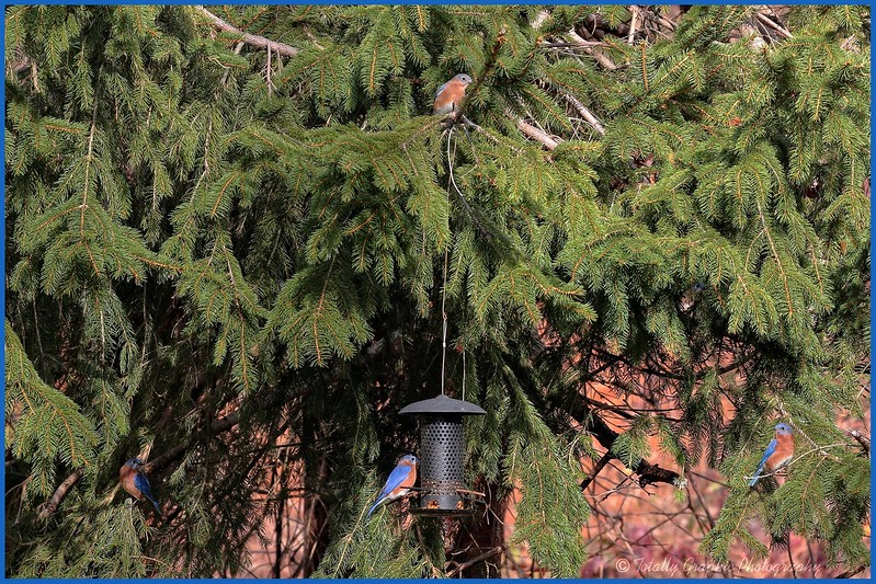 How many Bluebirds do you see?