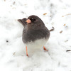 Slate Colored or Dark Eyed Junco. Best view all XL sizes.